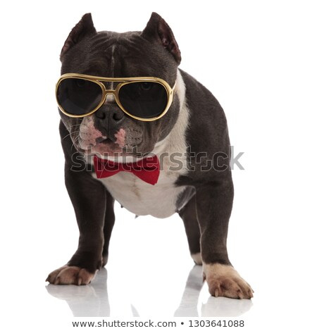 elegant american bully wearing golden sunglasses and bowtie stan Stock photo © feedough