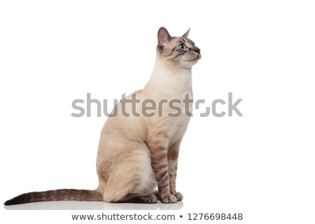 side view of cute burmese metis cat sitting Stock photo © feedough