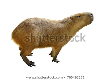 Capybara, Hydrochoerus hydrochaeris Stock photo © artush