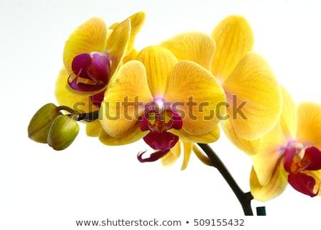 Bella giallo orchidea fiori giardinaggio botanica Foto d'archivio © dolgachov
