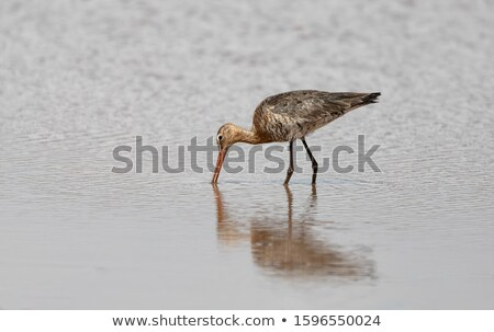 water Bird Whimbrel Ethiopia, Africa wildlife Stock photo © artush