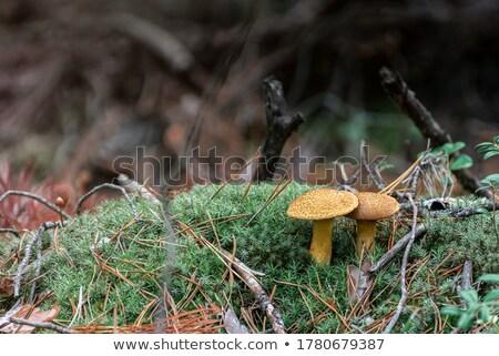 Bir mantar türü mantar çam havlama ahşap doğa Stok fotoğraf © dolgachov
