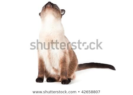 Sziámi macska kék szemek külső izolált fehér arc Stock fotó © karandaev