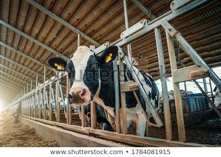 Vacas estable vaca leche animales agricultura Foto stock © njaj