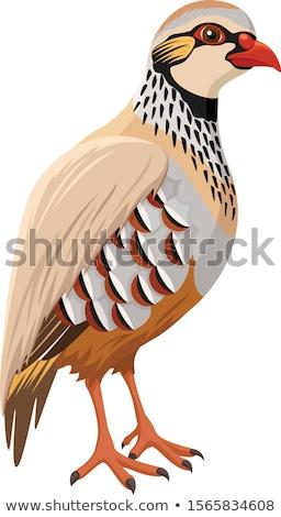 Partridge Bird Stock photo © fouroaks