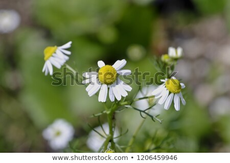 German chamomile (Matricaria chamomilla) Stock photo © rbiedermann