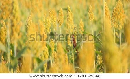 Serçe alan küçük yaz özgürlük bitki Stok fotoğraf © Novic