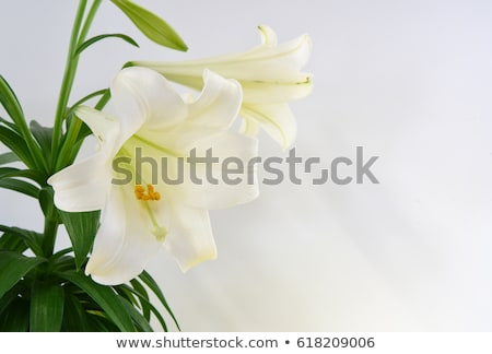 páscoa · lírio · planta · florescer · azul · primavera - foto stock © Gordo25