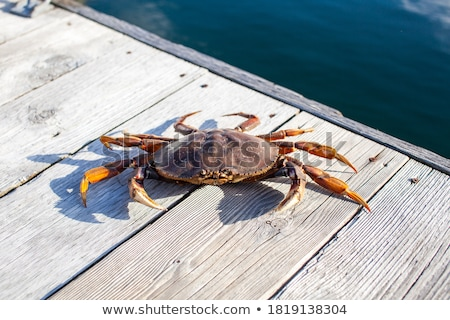 Dungeness Crab (Metacarcinus magister) stock photo © raptorcaptor
