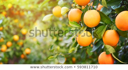 fruto · de · laranja · árvore · laranja · frutas · oval · folhas · verdes - foto stock © zzve