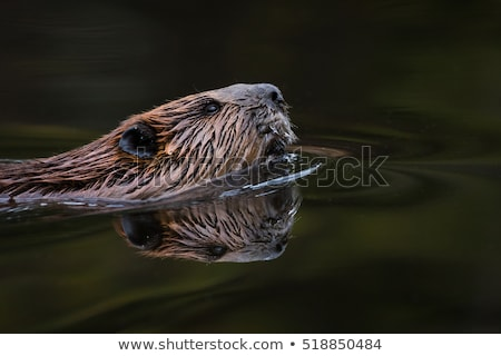 North American Beaver Castor Canadensis Wild Animal Swimming Dam Stock photo © cboswell