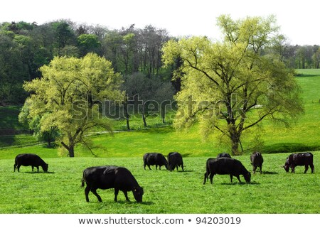 two black cows in pasture Stock photo © mycola