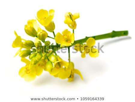 Stock photo: Yellow Canola Flower