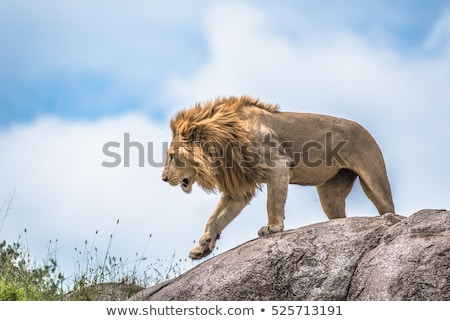 aggressive male lion stock photo © ottoduplessis