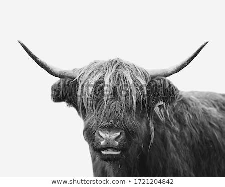 siyah · beyaz · inek · ayakta · Hollanda · bahar - stok fotoğraf © rhamm