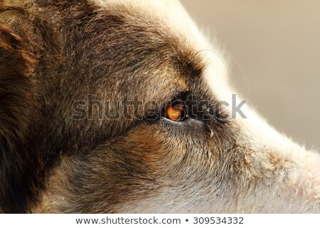 detail on romanian shepherd dog face Stock photo © taviphoto