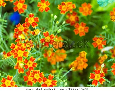 Marigold (Tagetes tenuifolia) Stock photo © rbiedermann