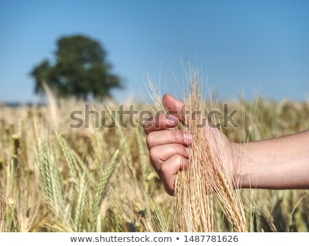 Foto stock: Female Farmers Hand In Agricultural Barley Field Responsible F