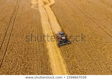 Magvak búza illusztráció vektor formátum farm Stock fotó © orensila