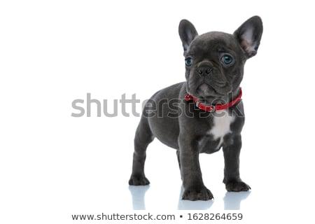 Kutyakölyök bulldog áll előre fehér stúdió Stock fotó © vauvau