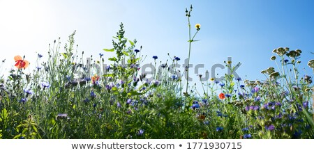 Prairie vert bleu ciel bleu fleur printemps Photo stock © dawesign