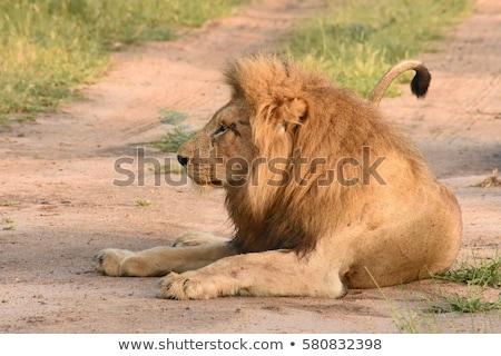 női · oroszlán · fektet · fű · park · Dél-Afrika - stock fotó © simoneeman