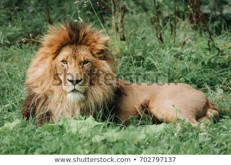 Nagy férfi oroszlán fektet fű park Stock fotó © simoneeman