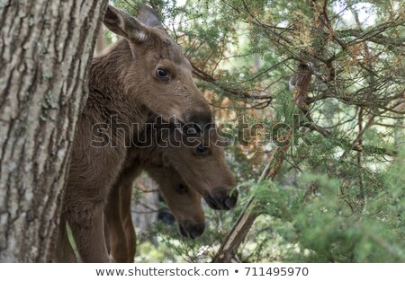 three young moose in noray Stock photo © compuinfoto