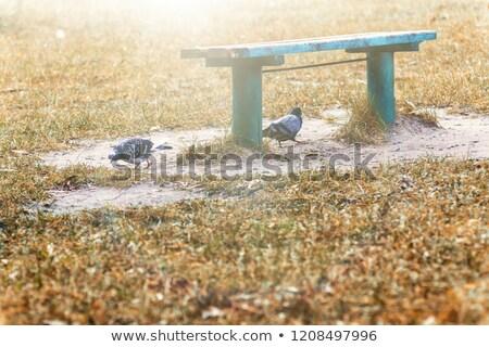 landscape pigeons under a park bench on autumn yellow orange gra stock photo © tanach