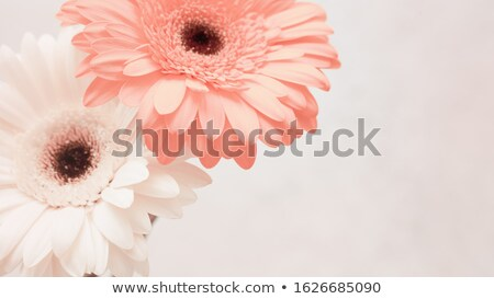 Greeting Card with fresh gerbera flower in a color of Living Coral Pantone on a same color backgroun Stock photo © artjazz