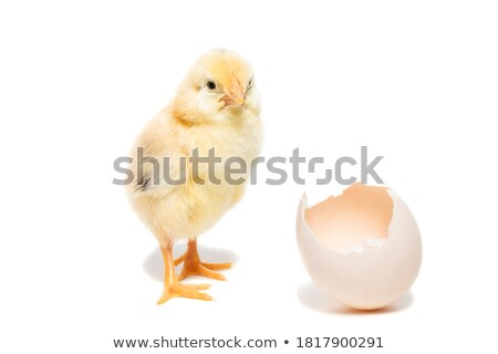 Little chick comes out of egg Stock photo © colematt