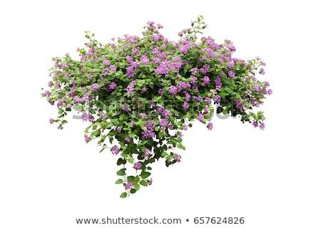 Rózsaszín liliom virágok bokor illusztráció virág Stock fotó © colematt