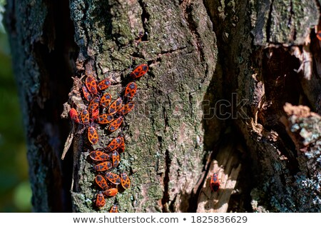 the firebugs on a tree stock photo © boggy