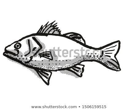Ausztrál basszus hal rajz retro rajz Stock fotó © patrimonio