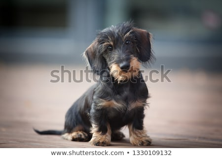 Portrait of an adorable wire haired Dachshund Stock photo © vauvau