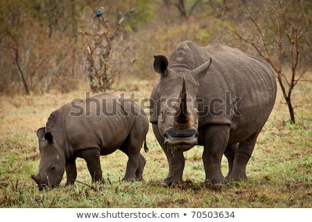 Two White rhinos grazing in the bush. Stock photo © simoneeman