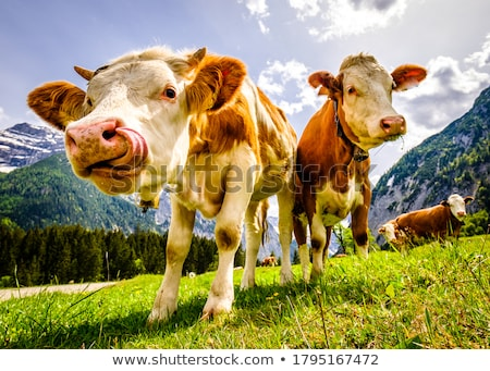 marrom · vacas · alimentação · grama · grama · verde · cara - foto stock © elenarts