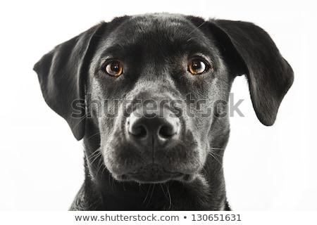Fekete labrador kutyakölyök zebra portré ágy Stock fotó © silense
