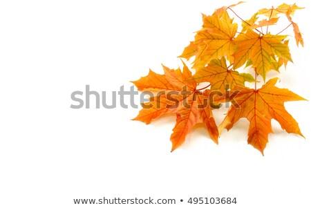 najaar · mooie · echt · bladeren · geïsoleerd - stockfoto © taiga