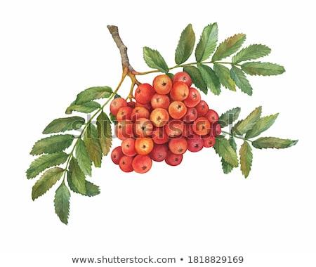 Bunch of red rowan berry Stock photo © Masha