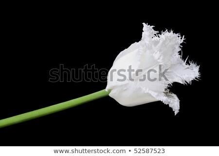 fehér · tulipán · nászút · izolált · fekete · húsvét - stock fotó © Photocrea