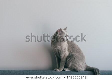 rosyjski · niebieski · kot · biały · oczy · tle - zdjęcia stock © luminastock