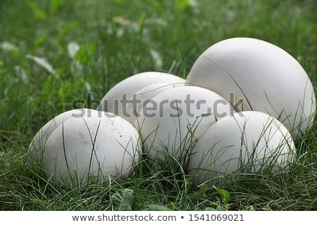 Puffball mushrooms growing in the grass Stock photo © sarahdoow
