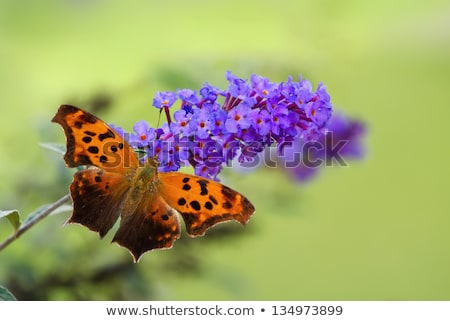 Question Mark Butterfly Dorsal View Stock photo © ca2hill