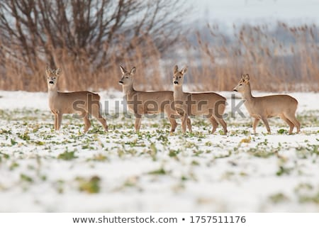 Brown deer 4 Stock photo © FOTOYOU