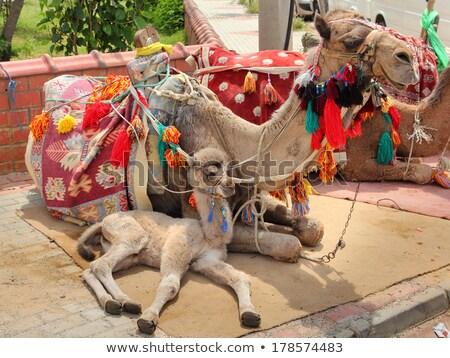 ラクダ カブ 母親 砂漠 動物 美しい ストックフォト © Mikko
