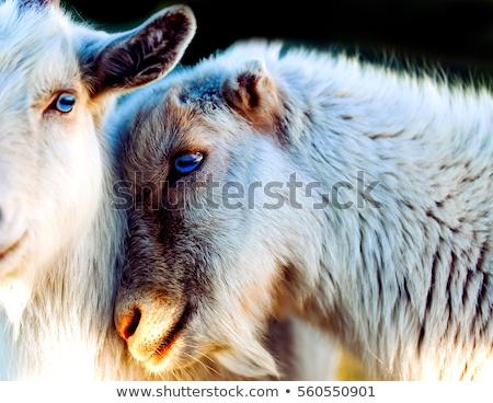 kecskék · szeretet · farm · férfi · alszik - stock fotó © reicaden