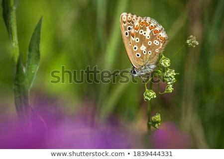 Piccolo rosolare farfalla minuscolo erba Foto d'archivio © Yongkiet