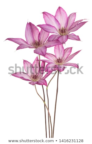 Clematis flowers Stock photo © fresh_4870785