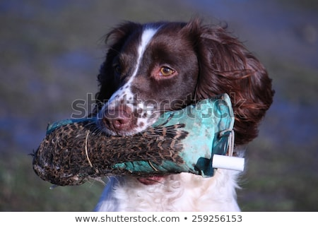 A working type english springer spaniel carrying a pheasant Stock photo © chrisga